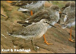 Knot and Redshank